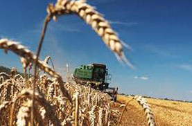 Озимая пшеница и комбайн